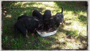 5 hetes rottweiler kölykök