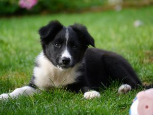 Border collie kölyök