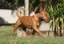 Bullterrier