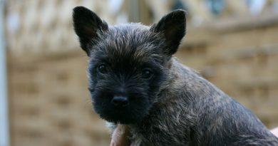 cairn terrier kölyök