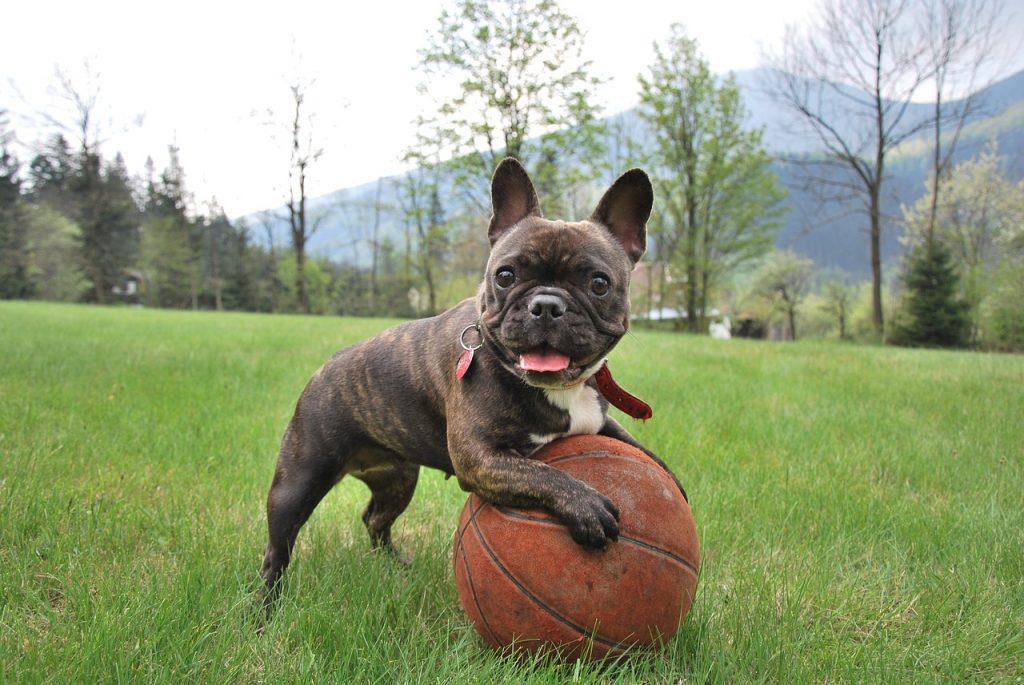 francia bulldog nevelése, tanítása