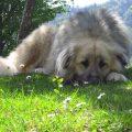 kaukázusi juhászkutya