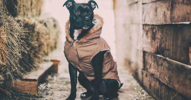 kutya, betegség, kennelköhögés