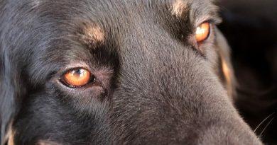kutya szemgyulladás, kötőhártya gyulladás