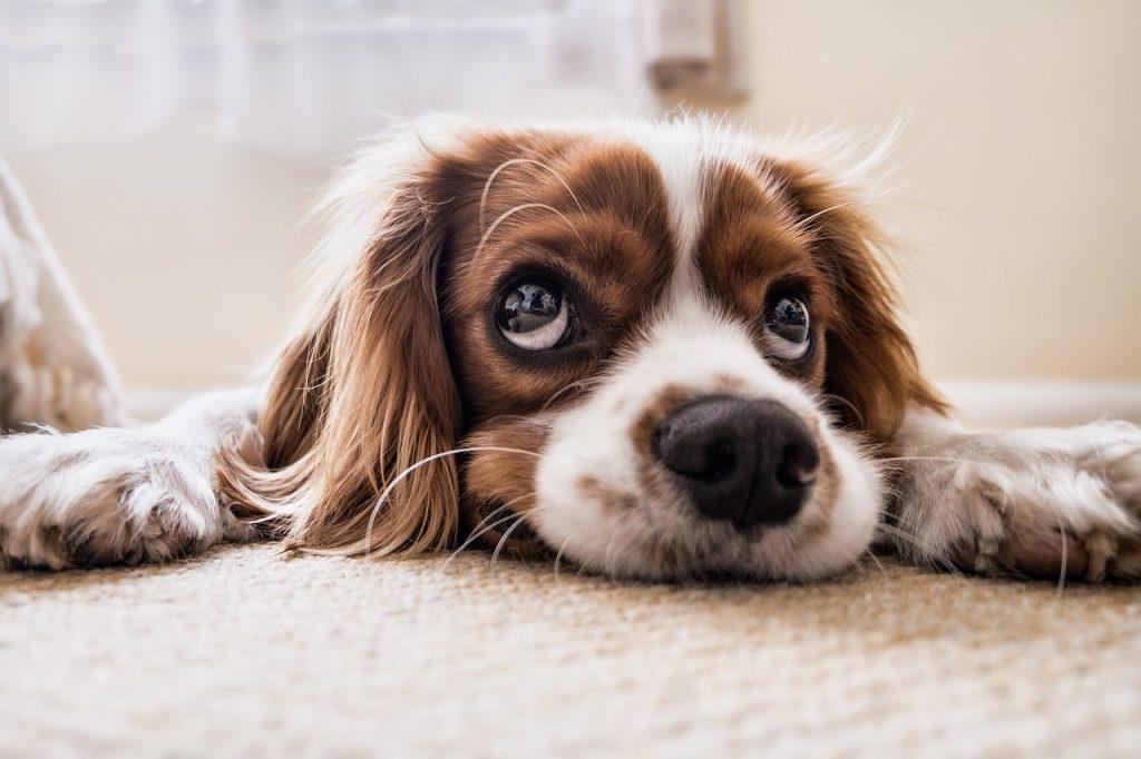 kutya szeparációs stressz