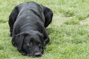 Labrador retriever kölyök