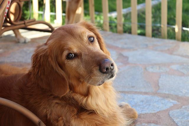 nyugodt, engedelmes kutya