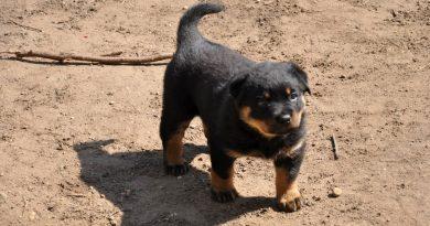 Rottweiler farokkal - Töreki Veronika fotó