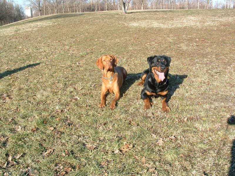 Rottweiler szuka egy vizsla szukával