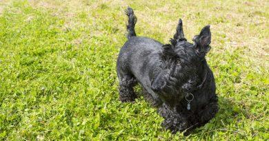 skót terrier