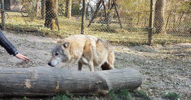 Farkas jellemzői, farkas vonyítás