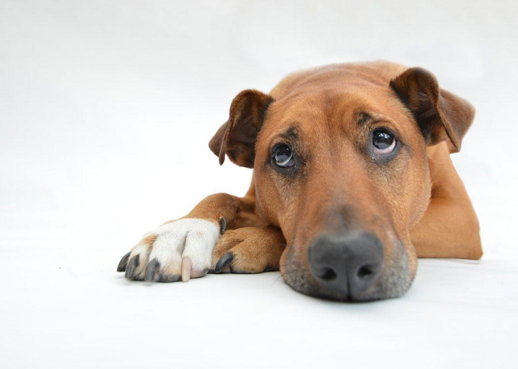 szeparációs szorongás kutya